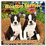 Boston Terrier Puppies 2019 Calendar