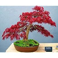 鉢植え植物の種子盆栽種子赤もみじイロハモミジAtropurpureumツリーFRESH種子40PCS