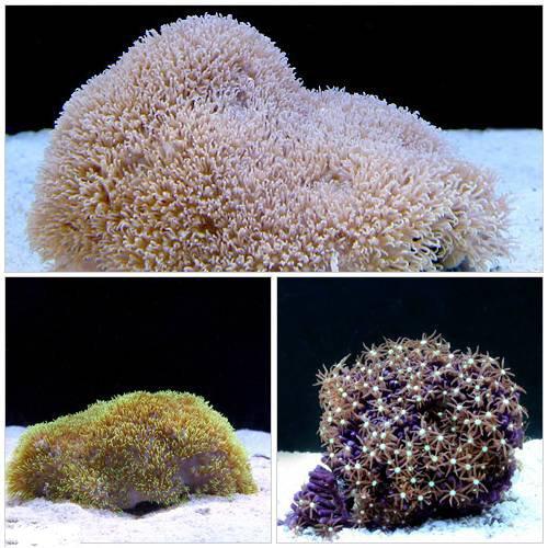 (海水魚 サンゴ)スターポリプ マリンガーデンセット(1セット) 本州・四国限定[生体]