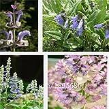 花ブルーサルビア、ブルーサルビアの種子、花の種、約100個の粒子
