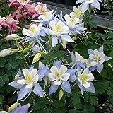 オダマキ:オリガミ ブルー&ホワイト3号ポット3株セット[カラフルでユニークな花形]