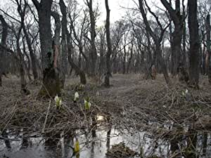 【6か月枯れ保証】【山林苗木】ハンノキ 0.5m