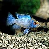 (熱帯魚)ブルーダイヤモンド・ラミレジィ(1匹) 本州・四国限定[生体]