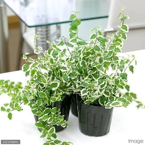 charm(チャーム) (観葉植物) フィカス プミラ サニーホワイト 3号(1ポット)