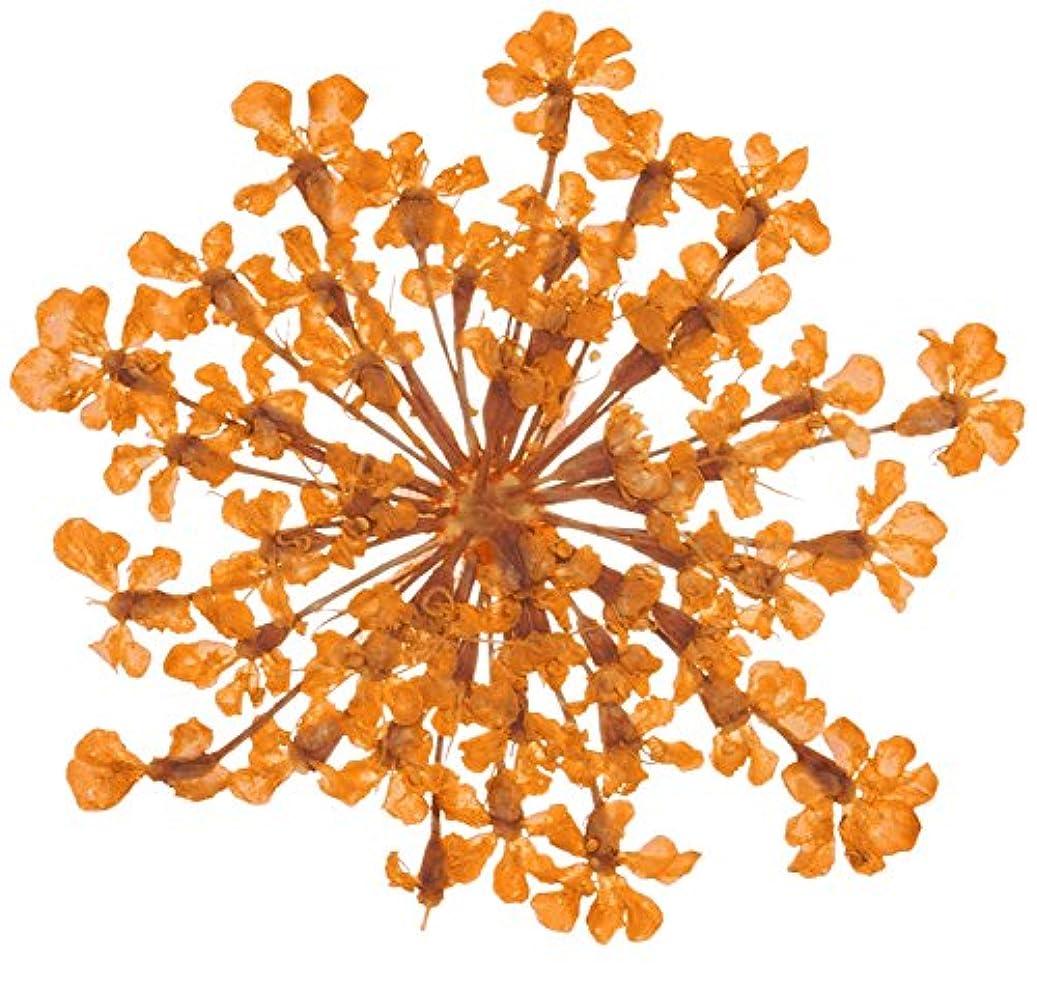 落ち着いて才能のある足音ベィビーズブレス BB-7 オレンジ 約10枚