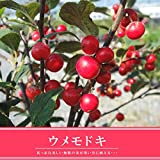 ウメモドキ(大納言) 梅もどきポット苗 庭木 低木