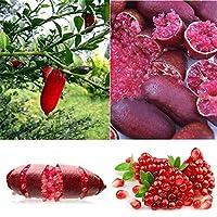 0126 20枚/袋アイスピンクフィンガーフルーツライム種子ホームガーデン珍しい植物盆栽T