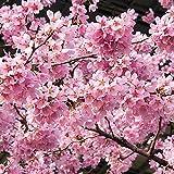 桜 苗木 雅桜(ミヤビザクラ) 12cmポット苗 さくら苗