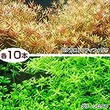 (水草)グリーンロタラ(10)+ロタラロトンディフォリア(10) 本州・四国限定[生体]