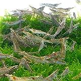 【生体】ミナミヌマエビ 100匹 死着補償10匹  エビ 飼育用 餌用にも