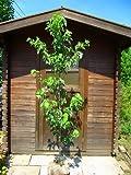 ハナミズキ 白花 樹高1.5m前後 花つきの良いハナミズキで☆アメリカヤマボウシ