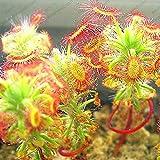モウセンゴケクリップハエトリグサ種子食虫種子庭の植物種子盆栽ファミリー鉢植え-20の種子