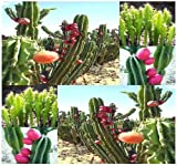 20 x PERUVIAN APPLE CACTUS - Cereus repandus SEEDS - Fig Cactus - EDIBLE FRUITS High In Vitamins and Antioxidants - Night Blooming - By MySeeds.Co by MySeeds.Co
