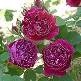 バラ苗 バロンジロードラン 国産大苗6号スリット鉢 つるバラ(CL) 二季咲き 赤系 オールドローズ(ハイブリッドパーペチュアル)