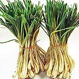 島らっきょう 約1kg 野菜 主に伊江島産で沖縄本島南部産も 12月から葉青々の新芽の島ラッキョウ
