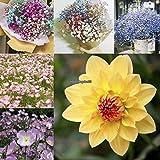 Gypsophilaの種子を混ぜる:花の種子夕方の種子Gypsophila種子Mini Dahlia Pinata Eh7E