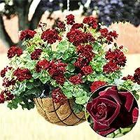 スワンズグリーン20個希少ゼラニウム種子ブラックローズペラゴニウム多年生花種子ハーディ植物盆栽鉢植え