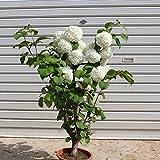 良品!庭木:オオデマリ 極太! (ポット植え)母の日にもオススメ!