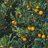 柑橘類の苗木 ぷちまる金柑(キンカン)
