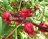 Amazon.co.jp新着ホームガーデン植物10種の新鮮なRosellaのハイビスカス・サブダリッファ種子送料無料