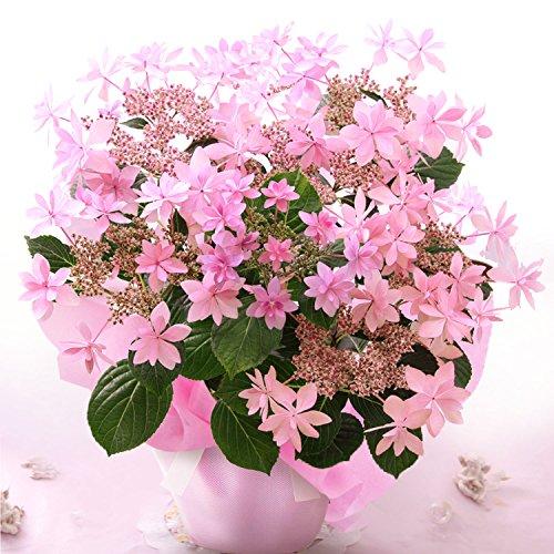 BunBunBee 母の日 アジサイ鉢・華やかな「ダンスパーティ・ピンク」