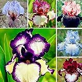 ASTONISH: 03:50個/袋アイリス種子盆栽レア多年生の花の種ホームガーデンLkr8 02