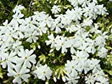 芝桜/カルビデスホワイト ポット苗 5本セット