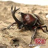 (昆虫)国産カブトムシ 幼虫(2~3令)(12匹) 本州・四国限定[生体]