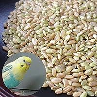 青米・小米 新潟 コシヒカリ 5kg/鳥の餌、飼料用などに