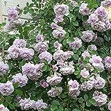 バラ苗 レイニーブルー 国産大苗6号スリット鉢 つるバラ(CL) 四季咲き 紫系
