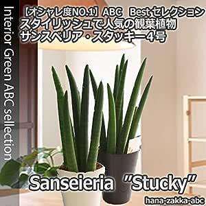 【自然の空気清浄機】 サンセベリア・スタッキー(サンスベリア・トラノオ)4号 【観葉植物】