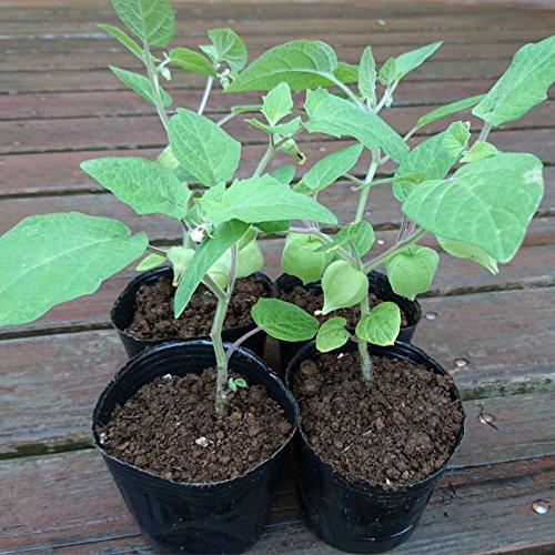 『食用ほおずき/ゴールデンベリーの苗4個セット』インカベリーとも呼ばれビタミン類やミネラルが豊富!