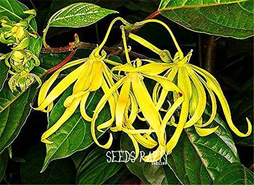 100種子/多くの新しい種2015!のイランイランノキ、イランイランの木、コンテナまたは屋内植物花の種