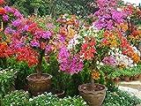 1bag = 10個入りミックスカラー」ブーゲンビリアをSpectabilis WILLD「種子まれな盆栽の花の種rianbow木の種子のホーム&ガーデン