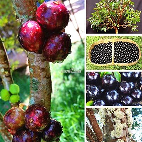 種子:緑:100PCSジャボチカバ種子フルーツ種子盆栽ブドウのの種子屋内RR6 03