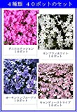 芝桜(シバザクラ) ミックス3号ポット 40株セット