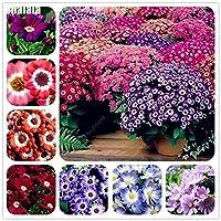 10:50個混合色シネラリア盆栽菊の花の種子グランドカバー計画