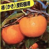 甘柿(カキ)苗木 禅寺丸柿