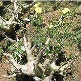 【多肉植物/種子】Pachypodium densiflorum★パキポディウム デンシフローラム★シバ女王の玉櫛(Densiflorum) [並行輸入品]