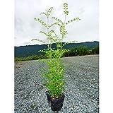 【ノーブランド品】 シマトネリコ 樹高0.5m前後 10.5cmポット /