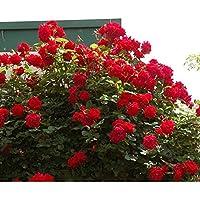 バラ苗 アンクルウォルター 国産新苗4号ポリ鉢 つるバラ(CL) 四季咲き中輪 赤系