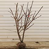 庭木:錦木(ニシキギ) H:約50cm