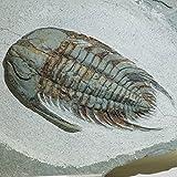 三葉虫( Neltneria ) 化石 約420g