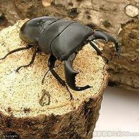 charm(チャーム) (昆虫)ダイオウヒラタクワガタ 東ジャワ アルゴプーロ産 成虫(WD)70~74mm(1ペア) 【生体】