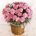 母の日 カーネーション エクレア ピンク 5号鉢 鉢花 フラワーギフト プレゼント 花