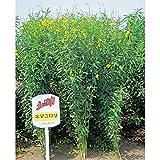 【種 10kg】 クロタラリア ネマコロリ 畑地 線虫対策 緑肥 [播種期:2~9月] 雪印種苗 米3【代引不可】