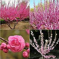 発芽SEEDSだけでなく、植物:花サクラの種桜Cerasus盆栽園の種子ピンク