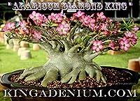 【多肉植物/種子】Adenium Arabicum Diamond King★アデニウム・アラビカム (アラビクム)◆種子5粒♪ Caudex 塊根植物 [並行輸入品]