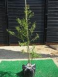 ビルベリー 樹高0.5m前後(樹高/根鉢含む)