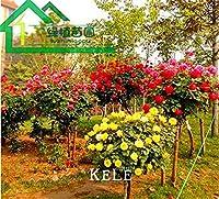 新鮮な新鮮な100個/ロット - 本物の新鮮な珍しいローザチネンシスDendroidalローズフラワーツリー盆栽、#NEQXYT:15